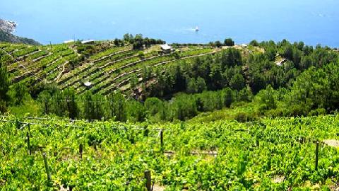 Vignes Sciacchetra Cinque Terre